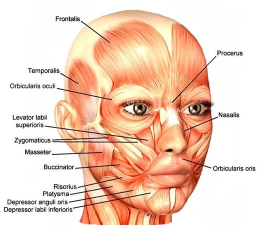 face muscle map Botox